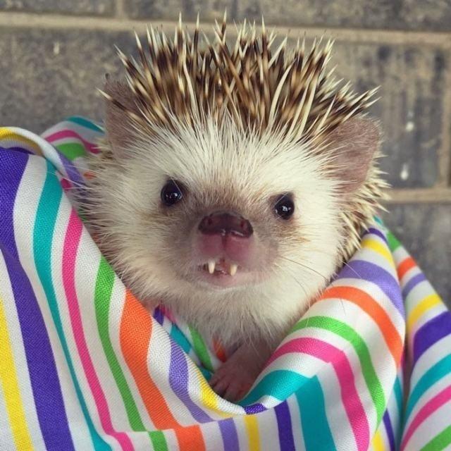28.abr.2016 - Huff, um ouriço com dentinhos de vampiro, está fazendo o maior sucesso entre os internautas. Com fotos fofas no Instagram, a dona do bichinho caiu no gosto do público e já conquistou mais de 25 mil seguidores