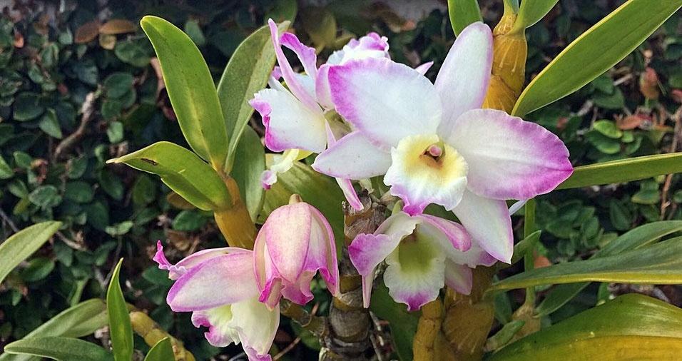 Paulo Camporesi, de São Paulo (SP), é um amante de orquídeas