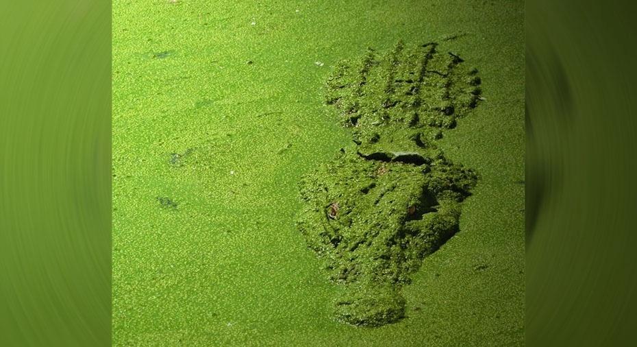 2. Jacaré camuflado pela cobertura verde da água