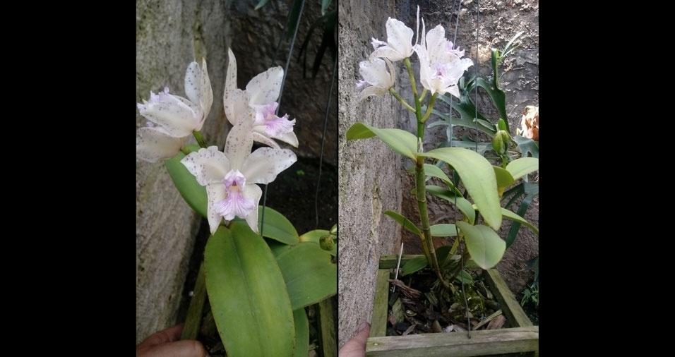 Erick Venruin enviou foto de suas orquídeas
