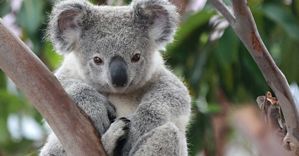 1. O animal símbolo da Austrália é o coala, e não o canguru