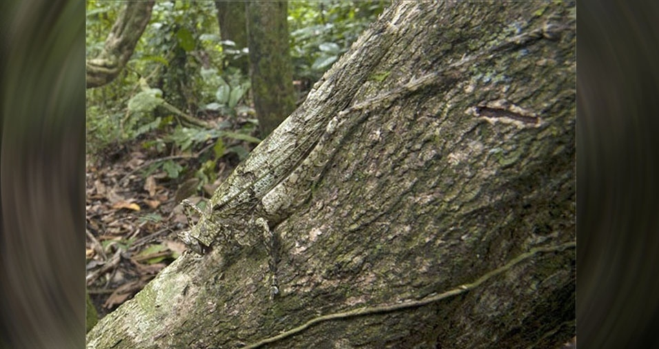 8. Camuflagem do inseto é no mesmo tom da casca da árvore
