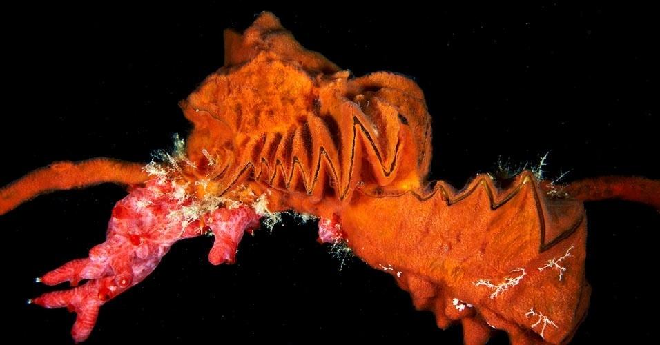 2. Lopha cristagalli. As fotos de Semenov retratam principalmente animais invertebrados encontrados nas profundezas do oceano Ártico