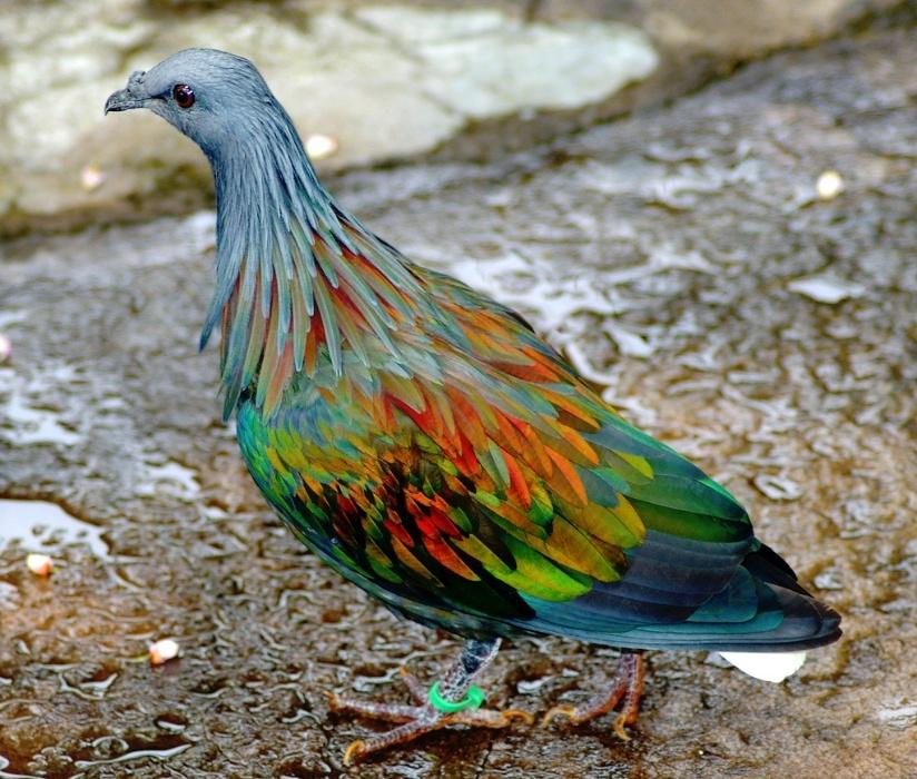 Pássaro da espécie Pombo-de-nicobar, nativo das ilhas do Pacífico