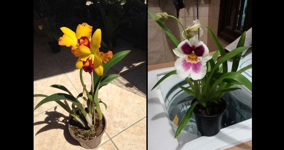 Gilberto Santos de Souza, de Niterói (RJ), enviou fotos de suas orquídeas Cattleya e Miltonia