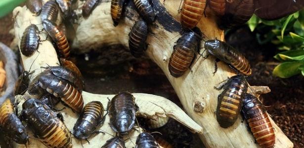 As baratas são criadas em uma fazenda operada por uma indústria farmacêutica - Reprodução/Pixabay