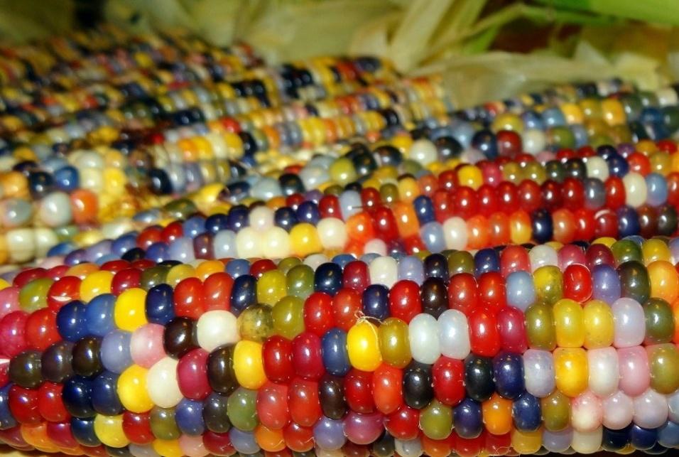 Espigas de milho coloridas, resultados de uma seleção de sementes feitas por um fazendeiro dos Estados Unidos