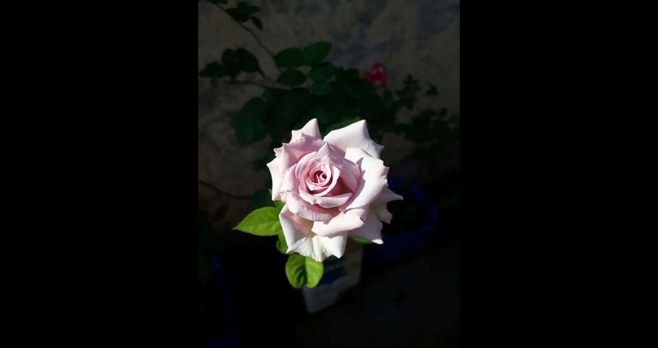"Maria Lívia, Pontal (SP): ""rosa lilás"""