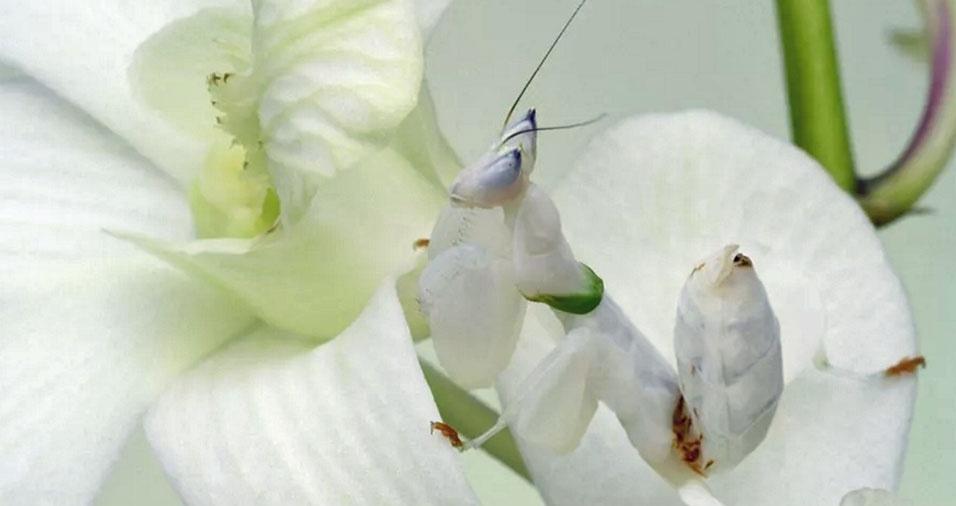 33. Louva-a-deus branca, como a orquídea