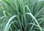 Paisagista indica plantas que funcionam como repelentes naturais - Reprodução/practicalgardenplants