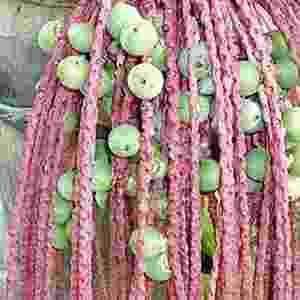 3. A Bacaba-açu é uma palmeira nativa da Amazônia. Seu fruto, que dão em cachos de cerca de 6 a 8 quilos, é utilizado no preparo do vinho de bacaba ou no preparo de sorvetes. As amêndoas e os resíduos da produção do vinho são utilizados como ração para suínos e aves. As folhas da árvore são utilizadas como cobertura para moradias e o tronco, como cabo para ferramentas - Reprodução/paramazonia