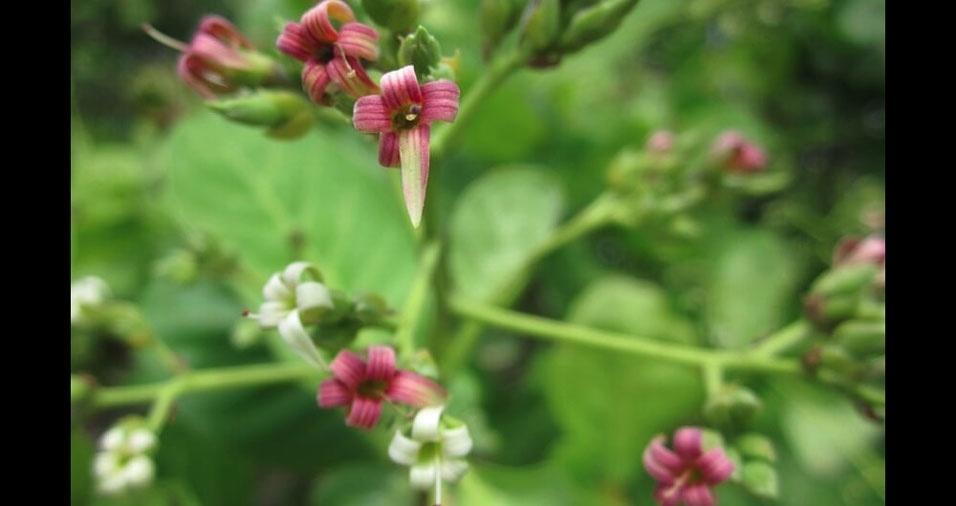 Amanda Leite, de Natal (RN) enviou foto da flor de cajueiro