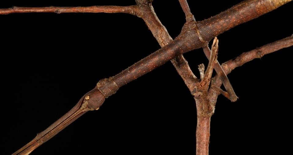 26. Bicho-pau, que utiliza o recurso de parecer com um galho para proteger-se dos predadores