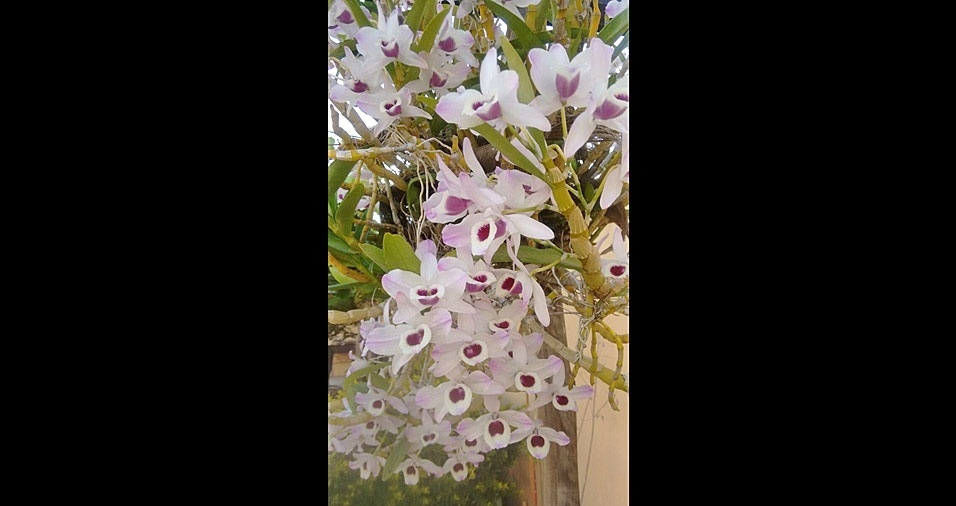 Fernando Geraldo de Avelar Pinto, de Sete Lagoar (MG), enviou foto de sua exuberante orquídea