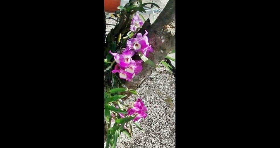 """Vera Lucia Rocha, Colombo (PR): """"Mando imagem da minha orquidea"""""""