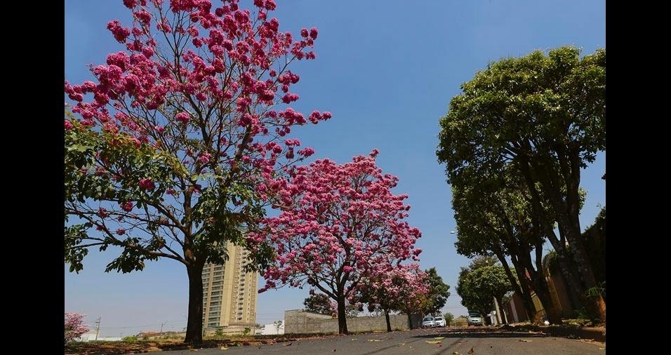 Valcir Cirino, de Matão (SP), enviou foto de um ipê rosa