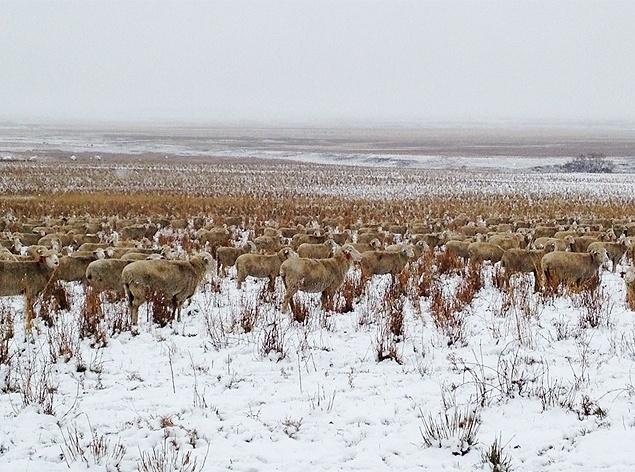 """10.nov.2015 - Foto de 500 ovelhas escondidas em paisagem canadense viraliza na web. Ao se aproximar, a fazendeira Liezel mostra qual o """"segredo"""": os animais estavam """"camuflados"""" na paisagem. Na biologia, essa característica dos animais se confundirem com seu habitat natural também é conhecida como mimetismo"""