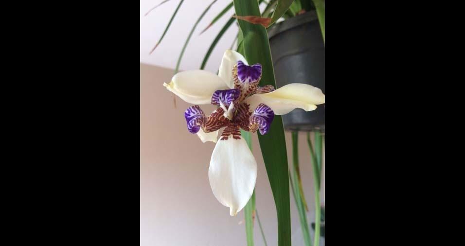 """Reginaldo Nogueira, Itaberá (SP) : """"Orquídea"""""""