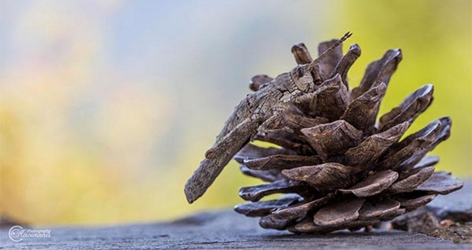 3. Gafanhoto escondido em uma pinha seca