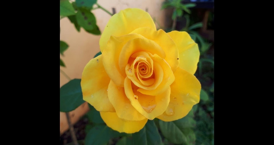 Nilson, de Centenário do Sul (PR), e sua rosa amarela