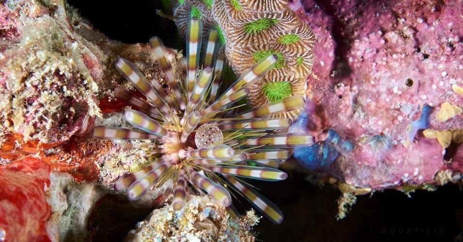 11. Echinothrix calamaris