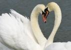 Casal de Cisnes (Foto: Reprodução/Internet)