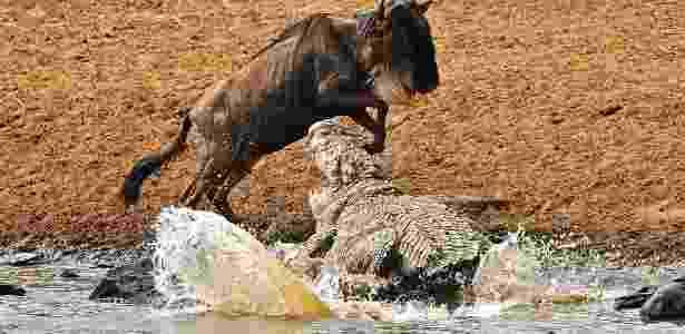Crocodilo tenta atacar um gnu em reserva no Quênia - Carl de Souza/AFP