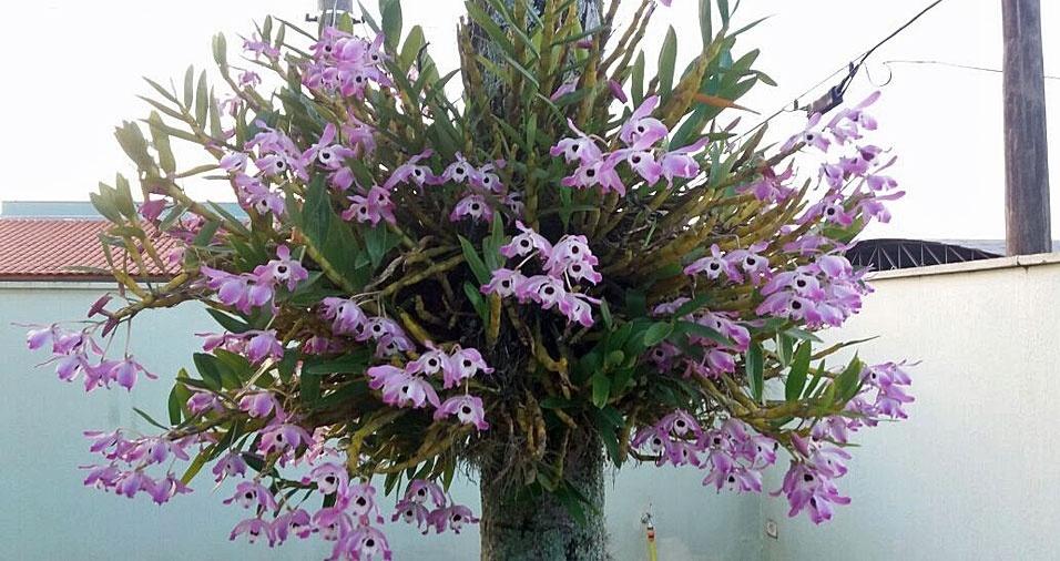 Ana Claudia Zago, de Águas de Santa Bárbara (SP), enviou foto das orquídeas que cultiva em casa