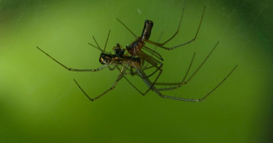 13. Aranhas nâo têm pênis. O acasalamento acontece através dos pedipalpos