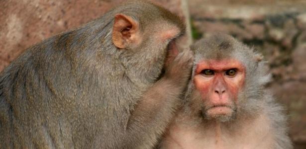 """Frutas frescas e vegetais servem de """"suborno"""" para manter os macacos sob controle"""