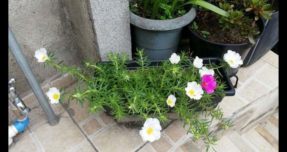 Claudio Spadrezani, de São Paulo (SP), apresenta as flores cultivadas pela esposa dele