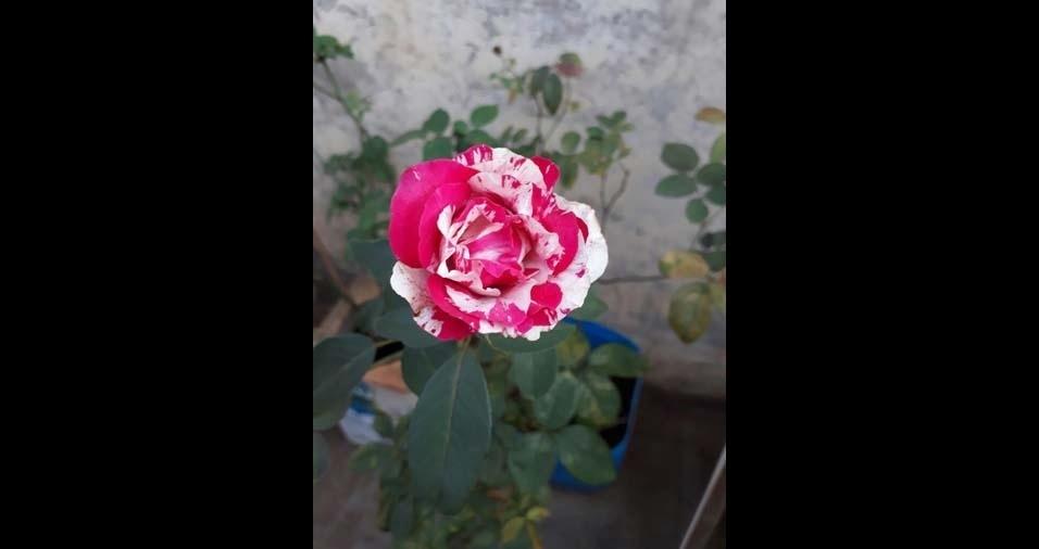 """Maria Lívia, Pontal (SP): """"rosa mesclada"""""""