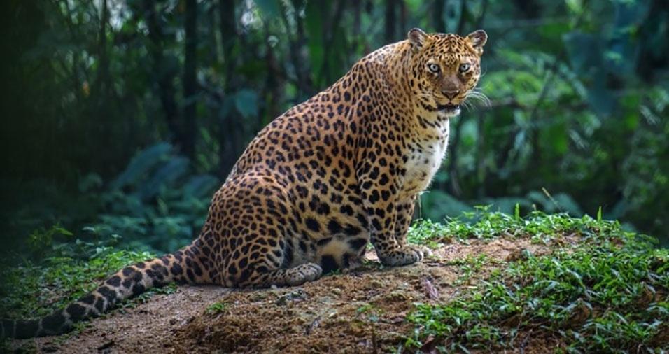 Este leopardo-fêmea será uma daquelas mães bem protetoras