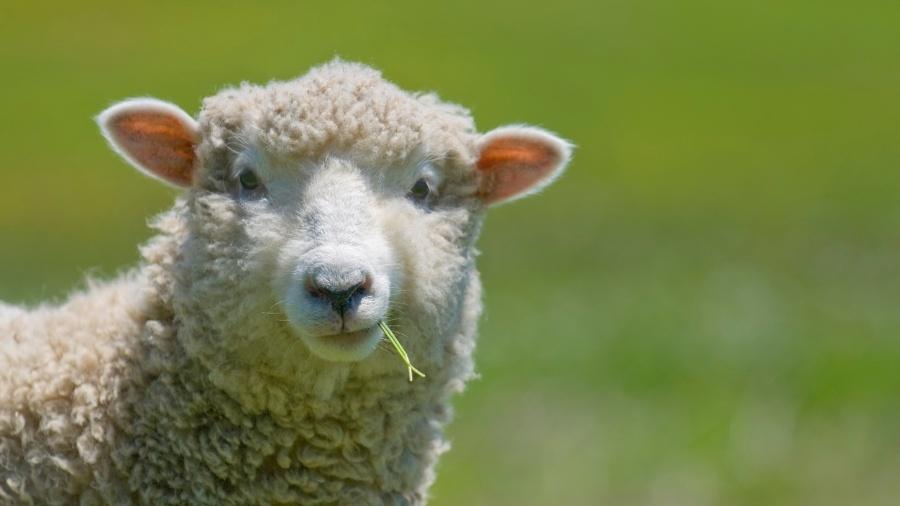 Vídeo que acusa entrega de gado mostra, na verdade, carregamento de ovelhas - Getty Images