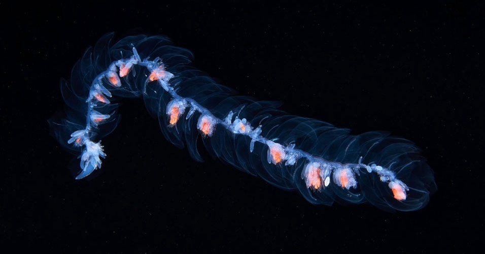 23. Siphonophore