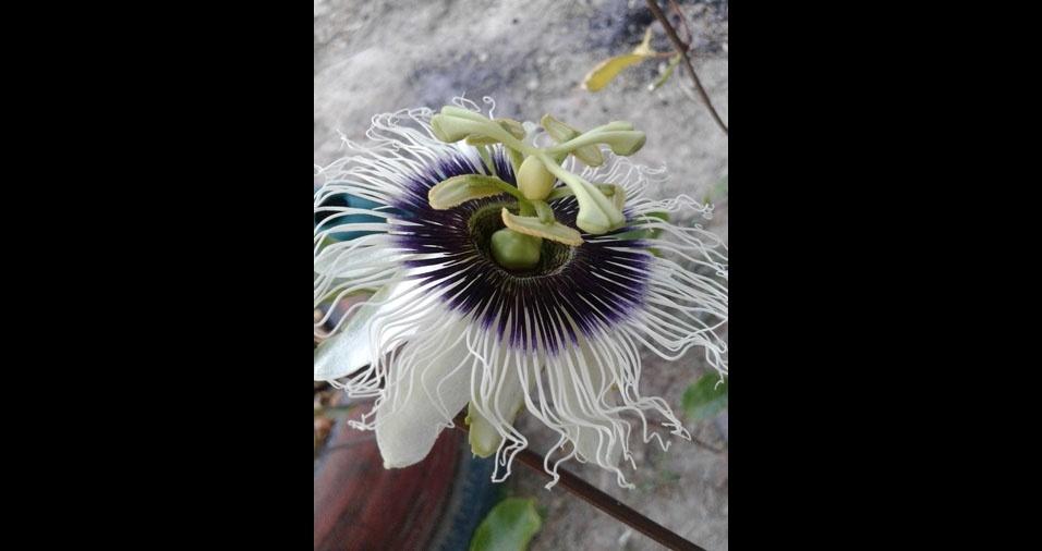 Flor do Maracujá, de Luis, de Teresina (GO)
