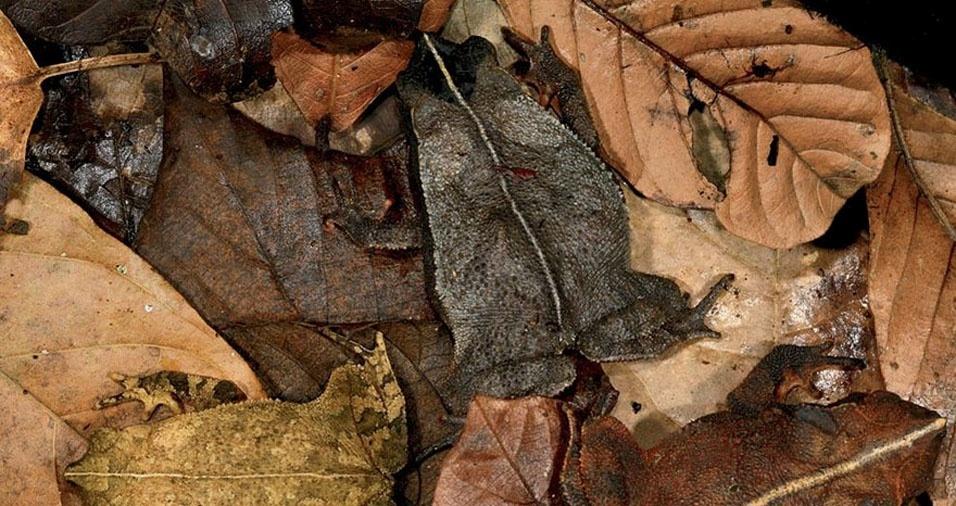 29. Sapo entre folhas secas