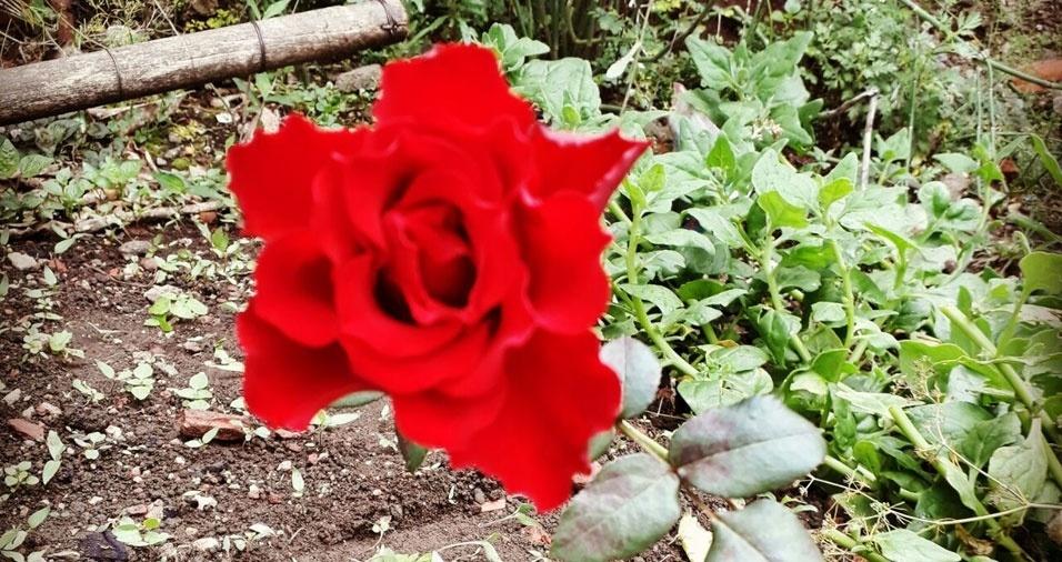 """Maria Natalia da Silva Davino, Curitiba (PR): """"Rosa vermelha"""""""