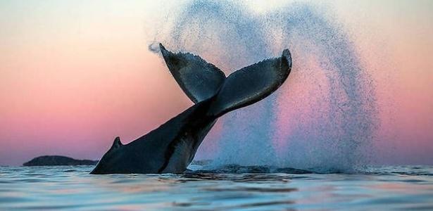 Os cantos das baleias jubartes são como a música clássica, já os das boreais são como jazz