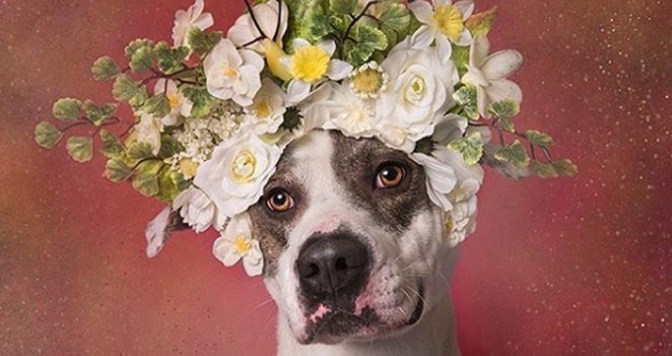 4. Alguns dos cachorros fotografados são uma mistura entre pit bull outra raça. Sophie também faz registros de outros cães e possui outras séries fotográficas, inclusive compartilhadas em seu Instagram. Na imagem, Zeus posa com sua coroa de flores