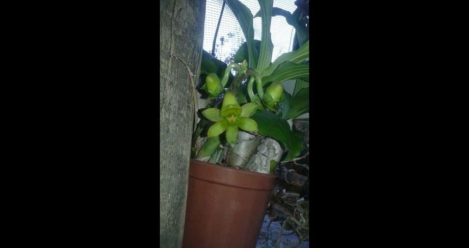 Cristiano Amaral, de Betim (MG) enviou foto de sua orquídea silvestre