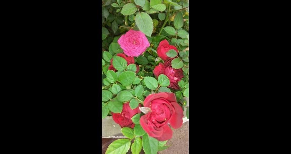 """Elisete Deam, Marília (SP): """"mini rosas"""""""