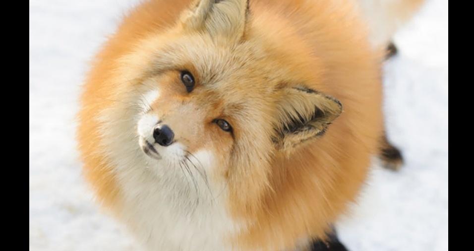 40. As raposas também podem ser lindas bolas de pelos