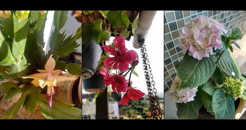 Ana Maria dos Santos Mota, de São Gonçalo (RJ),enviou foto de sua flor de maio, do gerânio pendente e de uma linda hortência