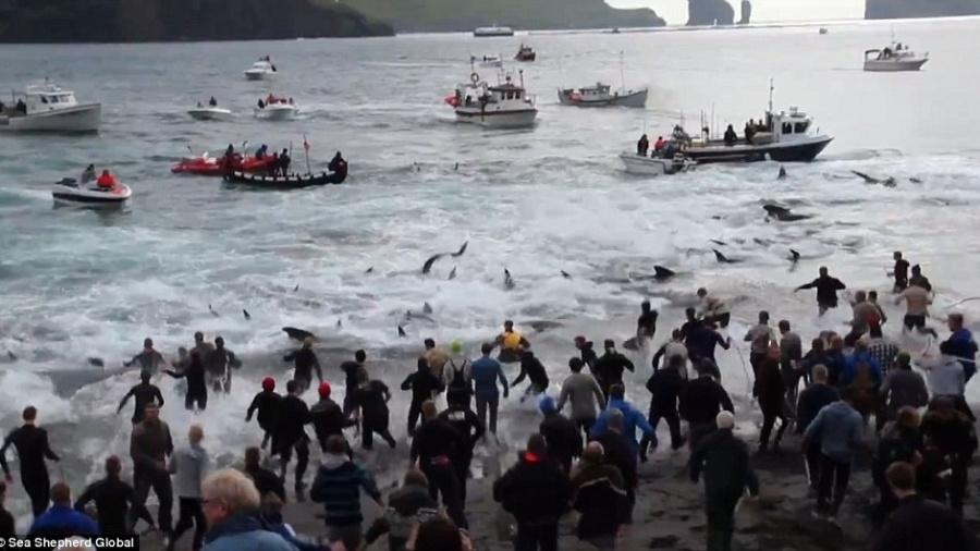 25.jul.2015 - Moradores locais começam a correr na direção das baleias com arpões e ganchos durante o ritual grindadráp, nas Ilhas Faroé - Reprodução/Facebook/Sea Shepherd