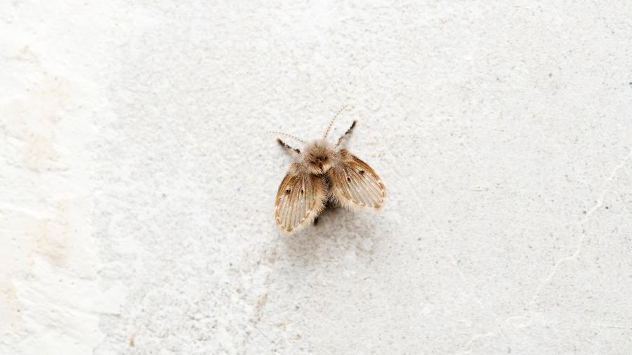 Psychoda cinerea: as mosquinhas de banheiro - ePhotocorp/Getty Images/iStockphoto