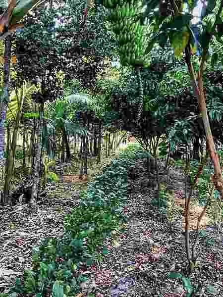 Fazendo Coruputuba parece com floresta tradicional, mas na verdade é um espaço de cultivo de frutas, raízes e madeira no Vale do Paraíba - Reprodução/Instagram - Reprodução/Instagram