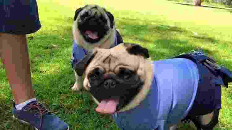 Winnie e Odie, os pugs policiais de Perth, na Austrália - Reprodução/Facebook - Reprodução/Facebook