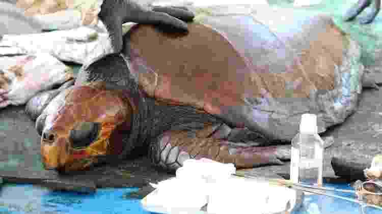 Tartaruga em processo de limpeza na base de estabilização do Instituto Biota - Instituto Biota de Conservação