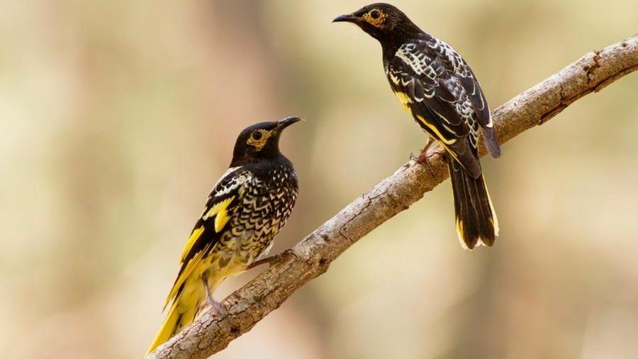Os pássaros usam o canto para marcar território e encontrar uma companheira para acasalar - LACHLAN L. HALL